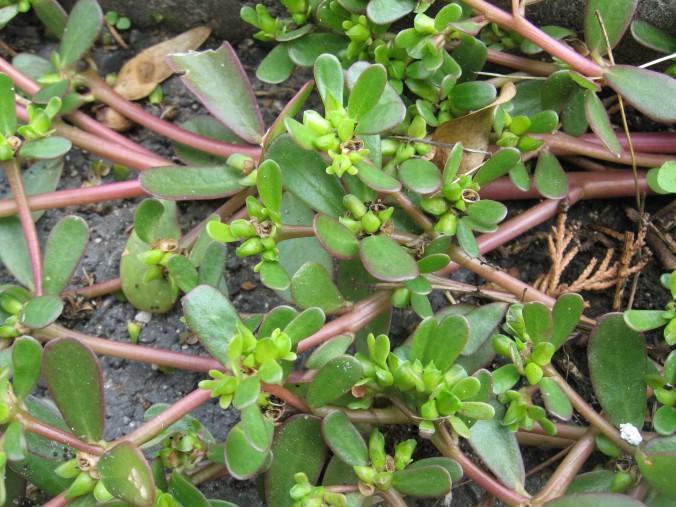Portulaca-oleracea